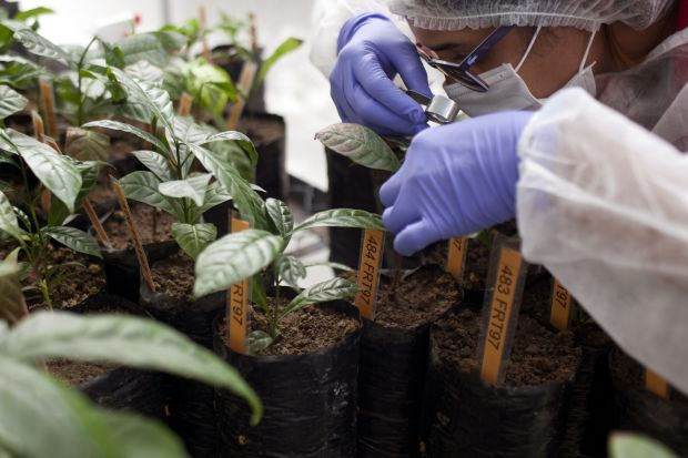 The robusta seedlings were brought to Colombia from France and Mexico.
